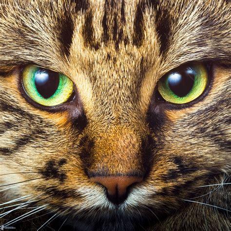 imagenes de ojos verdes de gatos ojos verdes de un gato