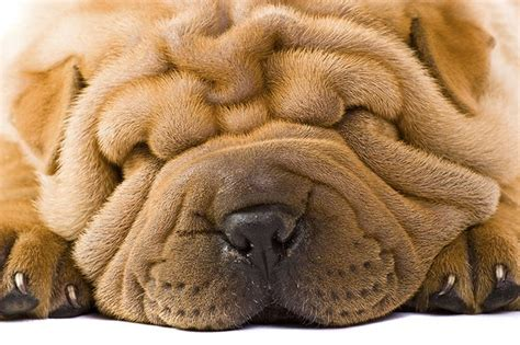 wrinkly breeds dogs with wrinkled faces cuteness