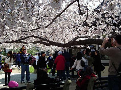 cherry blossom festival dc file cherry blossom festival dc 2011 5585198003 jpg