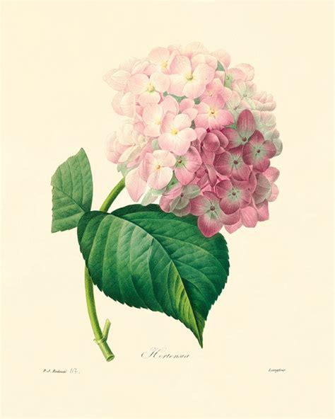 antique rose botanical garden wall art print by hydrangea art print vintage botanical prints by antiquewallart