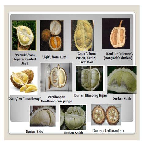 Bibit Durian Musang King Majalengka pengembangan dan peningkatan produktivitas durian durio