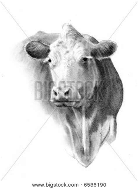 imagenes de vacas a lapiz dibujo a l 225 piz de una cabeza de vaca fotos stock e