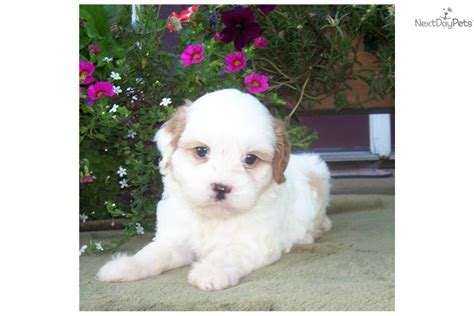 Cavapoo Shedding by Cavapoo Puppy Quotes