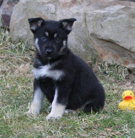 black and silver german shepherd puppies 26 best images about dogs on walt whitman masons and gabriel