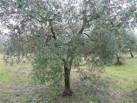 potatura olivo in vaso potare gli ulivi tecniche di giardinaggio