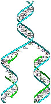 Dna Replica Dna Replication