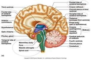 brain sections quiz brain parts to know anatomy pinterest nice the o