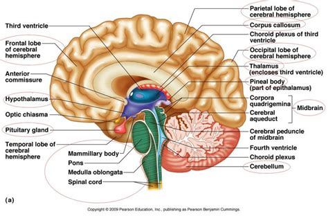 anatomy of the brain diagram brain parts to anatomy the o