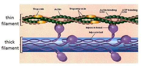 4 proteins of thin filaments human physiology