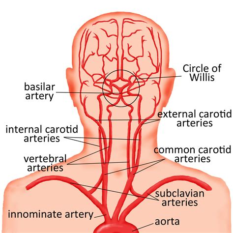 diagram of carotid artery carotid artery diagram diagram of carotid artery