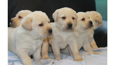 best food for lab puppies the best puppy food for labs and large breeds the labrador retriever