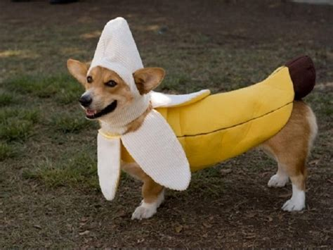 dogs and bananas a banana costume for dogs laughspark