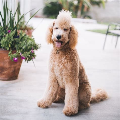 types of goldendoodle haircuts types of goldendoodle haircuts google search ellie