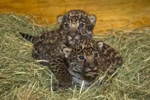 Jaguars Cubs Jaguar Cubs At Last