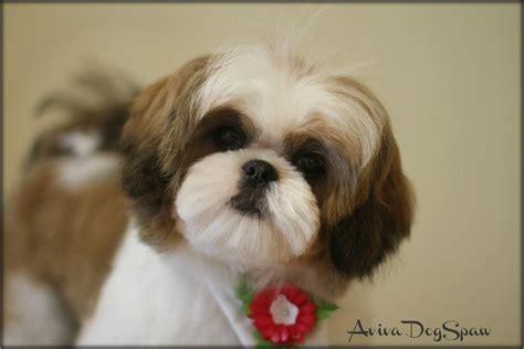shih poo puppy cut female shih tzu puppy 5 months old asian fusion teddy bear
