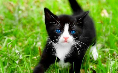 beautiful kittens black cats hd wallpapers beautiful pictures images hd