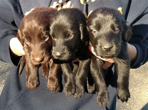 flat coated retriever mix puppies for sale treeing tennessee brindle treeing walker coonhound vizsla weimaraner breeds picture