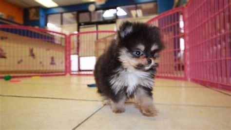 teacup pomeranian for sale in ga teacup black and pomeranian puppies for sale in at puppies for sale