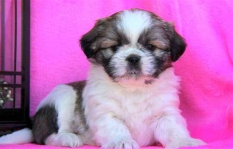 shih tzu puppies for sale in pittsburgh pa shih tzu puppies for sale pittsburgh pa 187948 petzlover
