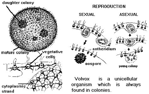 Diagram Of Volvox With Label