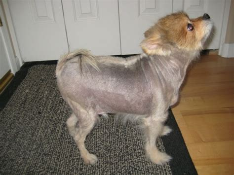 pomeranian with no hair how a vegan diet saved this s happy herbivore