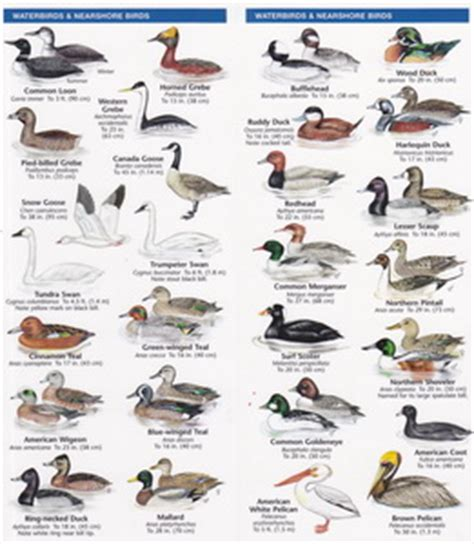 pocket naturalist guide oregon birds