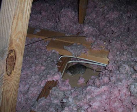 dead rat smell a dead rat in the attic