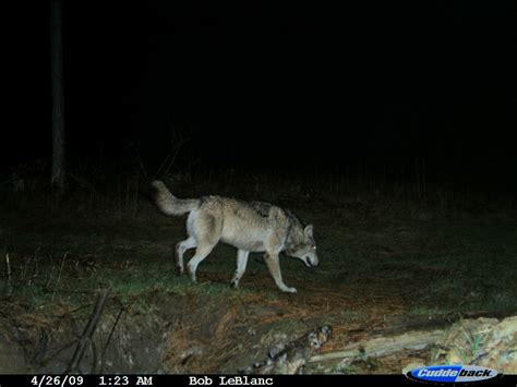 hd trailcam pictures of wolves in winter trail