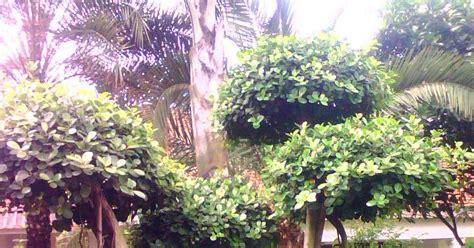 Tanaman Hias Karet Hias tukang tanaman hias pohon karet jepang