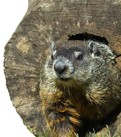 How Do You Get Rid Of Groundhogs Shed by How To Get Rid Of Groundhogs Groundhog Removal Havahart
