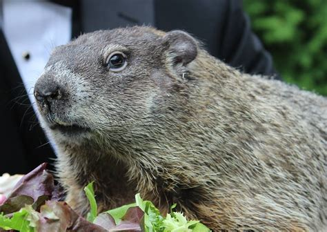 groundhog day usa groundhog day punxsutawney phil predicts an early
