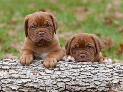 dogue de bordeaux puppies dogue de bordeaux info temperament puppies pictures
