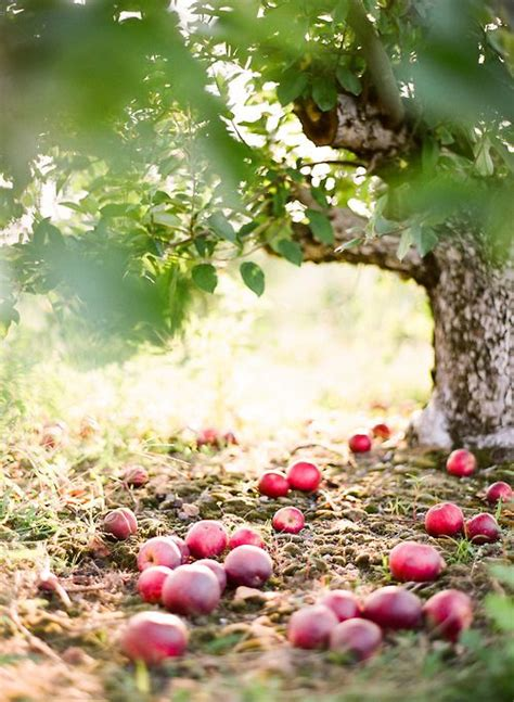 stay me with flagons comfort me with apples 5165 best fruit trees images on pinterest fruit trees