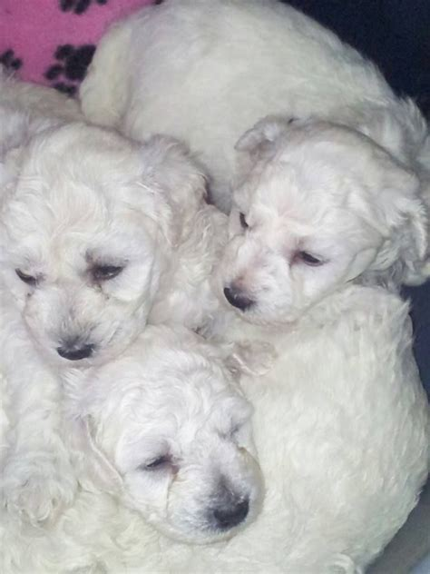bichon puppies for sale bichon frise puppies for sale spalding lincolnshire pets4homes