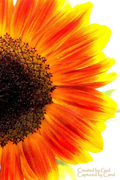 colors of sunflowers 17 best images about i think i want a new on