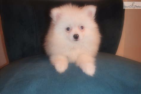 grey pomeranian puppies for sale grey white pomeranian puppy for sale in asheville nc 3989986257