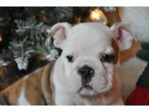 boxer puppies for sale in upstate ny puppies in new york