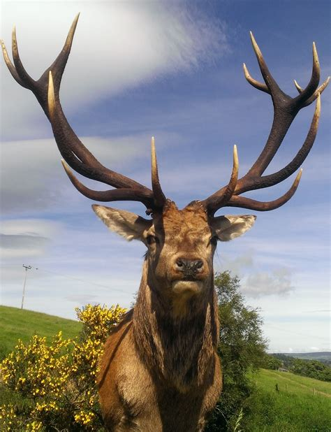 Stags Head Home Decor by Red Deer Stag Taxidermy Antler Head Mount Sold Sold Sold
