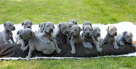 pics of great dane puppies great danes images great dane puppies wallpaper and background photos 15342699