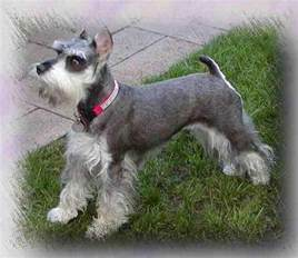 minature schnauzer hair cut pictures of mini schnauzer haircuts hairstyle galleries