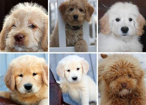 miniature golden retriever ontario goldendoodle intelligence level breeds picture