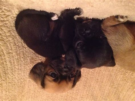 pug norwich puguliare pups pug x norwich norfolk pets4homes