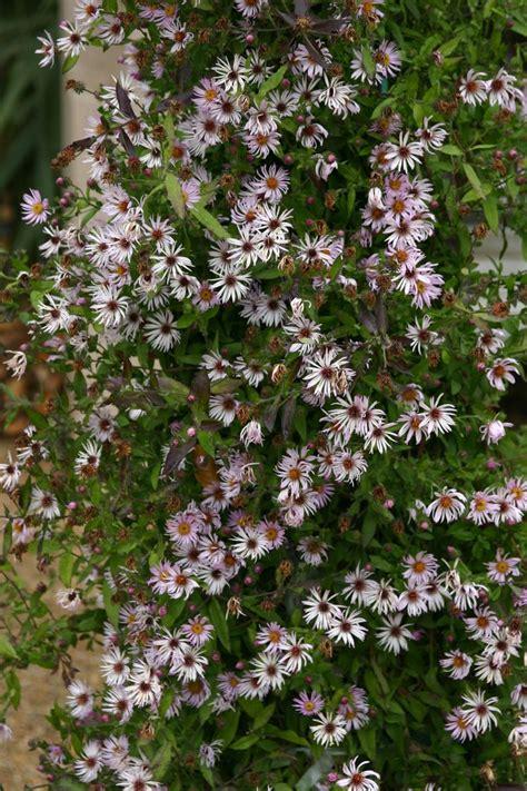 florida climbing plants climbing aster flowers florida gardening