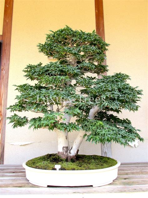 Pflege Bonsai 6380 by Acer Palmatum Bonsai 187 Luxurytrees 174 Deutschland