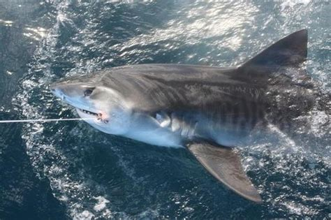 tige boats lake country 300 lb tiger shark caught while tarpon fishing in the bay