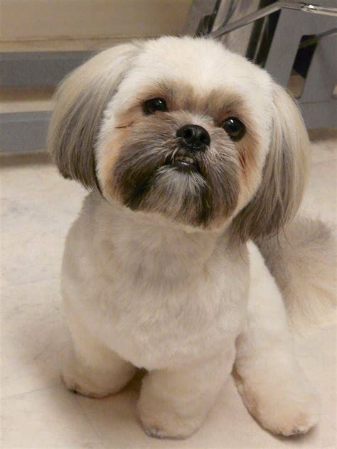 how to cut a shichon s hair 56 best images about shih tzu grooming hairstyles on