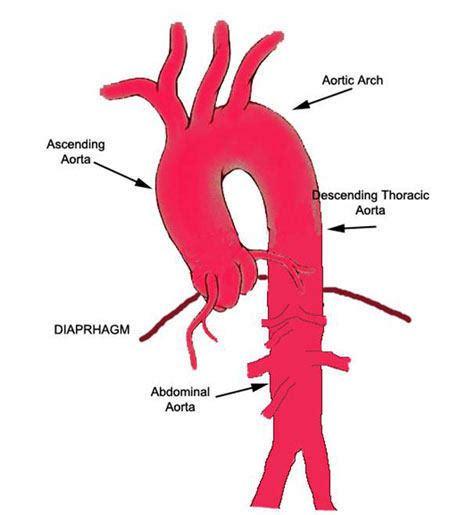 diagram of the aorta human veins and arteries diagram