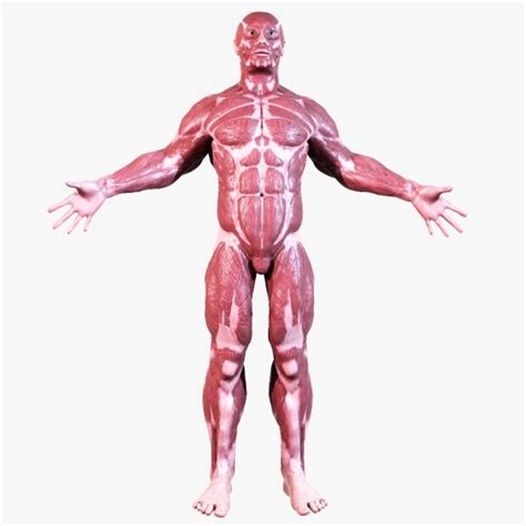 section 36 2 the muscular system anatomy image organs best 10 medical clinical doctoral