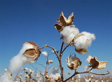 Don Lawija Organic Cotton cotton seriously why don t i see any threads for this already chucklefish forums