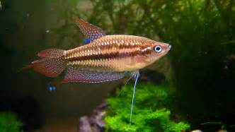 most colorful freshwater fish 5 colorful freshwater fish species
